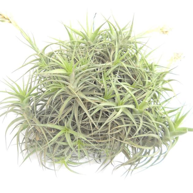 tillandsia bergeri kuller gros sujet plante piphyte. Black Bedroom Furniture Sets. Home Design Ideas