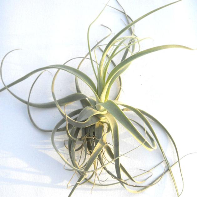 tillandsia stramin a plante piphyte brom liac a. Black Bedroom Furniture Sets. Home Design Ideas