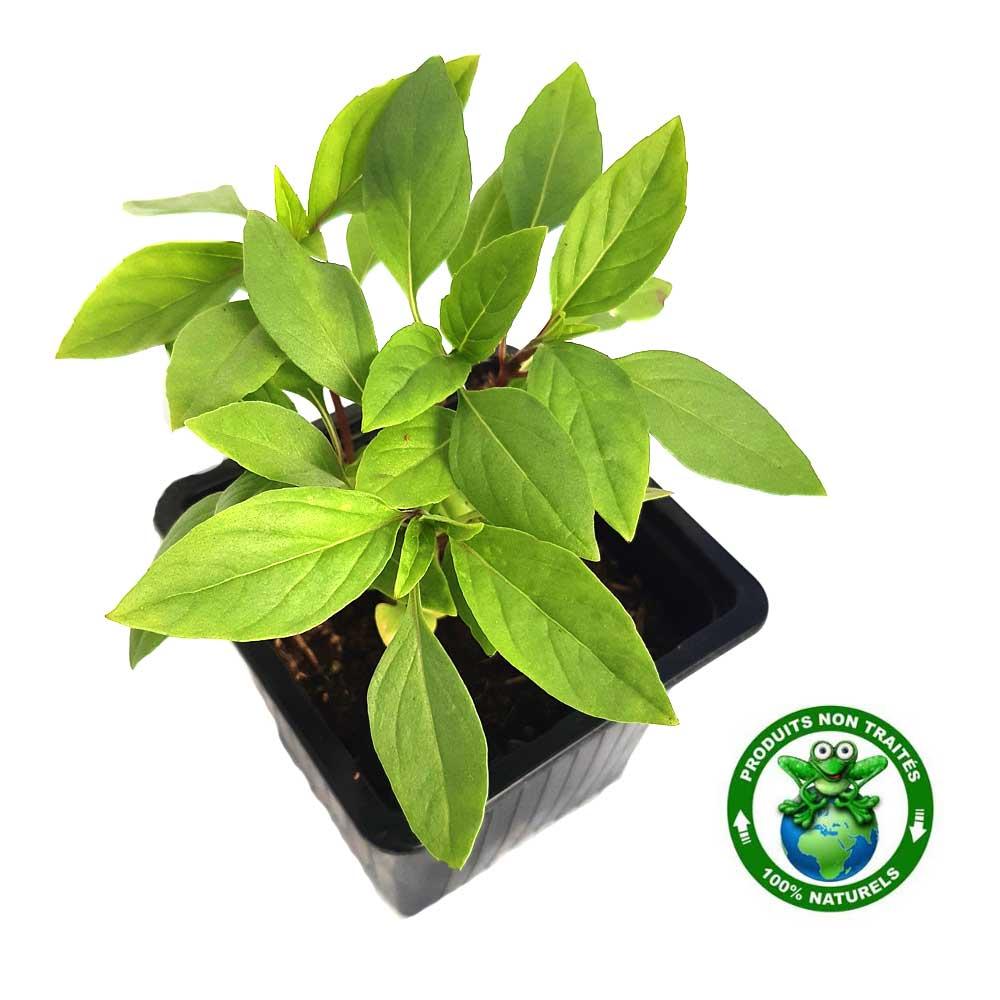 Basilic thaï - Kajuard Plantes